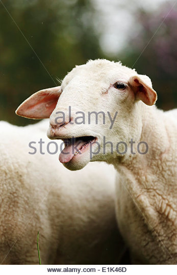 Bleating Sheep Stock Photos & Bleating Sheep Stock Images.