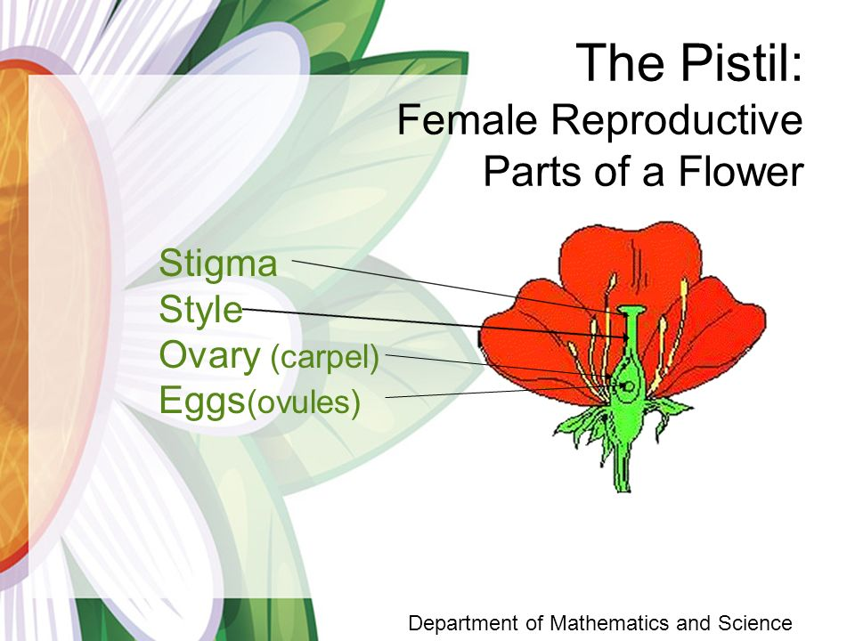 Life Cycle of a Flowering Plant Department of Mathematics and.