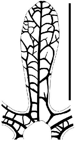 Line drawing showing sepal venation of Ceratopetalum.