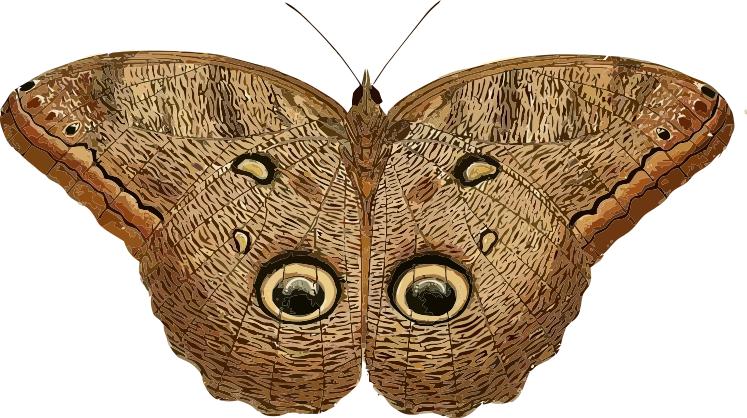 Owl Butterfly Caligo eurilochus.