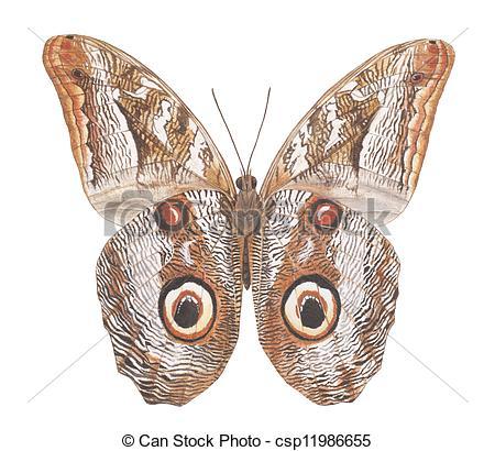 Stock Illustrations of Owl moth.