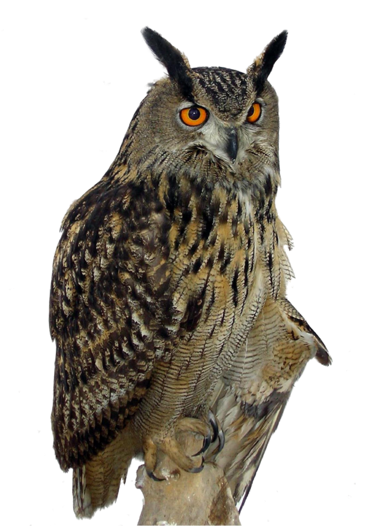 Owls PNG images free download, bird owl PNG.