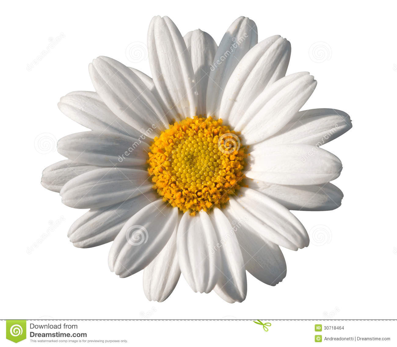 Oxeye Daisy Flower White And Yellow Stock Photo.