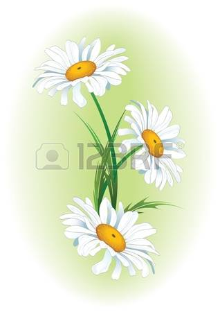 83 Ox Eye Daisy Stock Vector Illustration And Royalty Free Ox Eye.