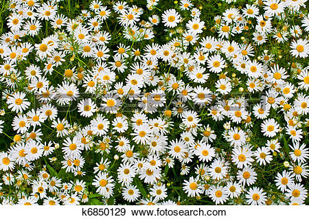 Stock Photograph of camomile or ox.