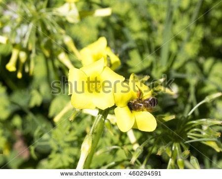 Oxalidaceae Banco de Imagens, Fotos e Vetores livres de direitos.