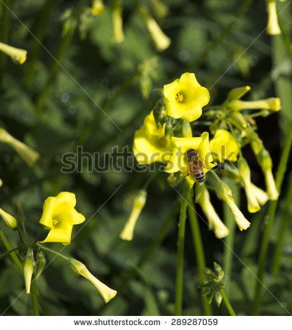 Oxalidaceae clipart #10