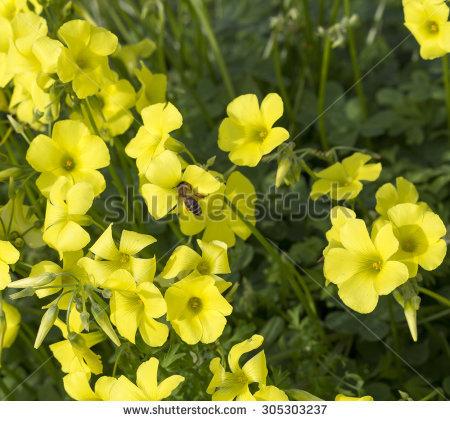 Oxalidaceae Banco de imágenes. Fotos y vectores libres de derechos.