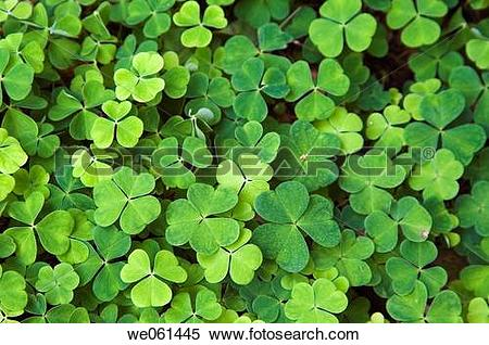 Stock Image of Clover (Oxalis acetosella) in woods we061445.
