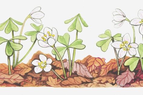 Illustration of Oxalis Acetosella (Wood Sorrel), Flowers and.