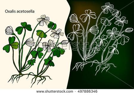 Oxalis Acetosella Stock Photos, Royalty.