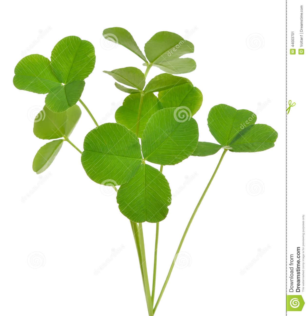 Oxalis Acetosella (wood Sorrel) Plant Stock Photo.