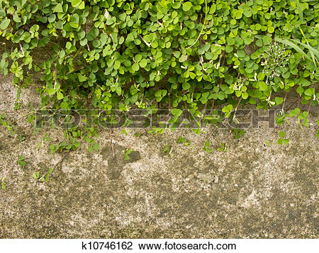Stock Photo of Wood sorrel or Oxalis acetosella L. on concrete.