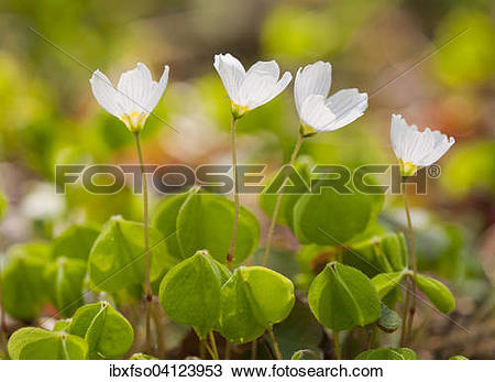 Stock Photo of Wood Sorrel (Oxalis acetosella), flowering, Lower.