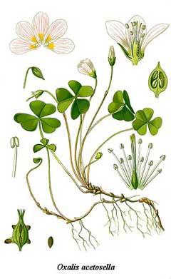 Oxalis acetosella Wood Sorrel PFAF Plant Database.