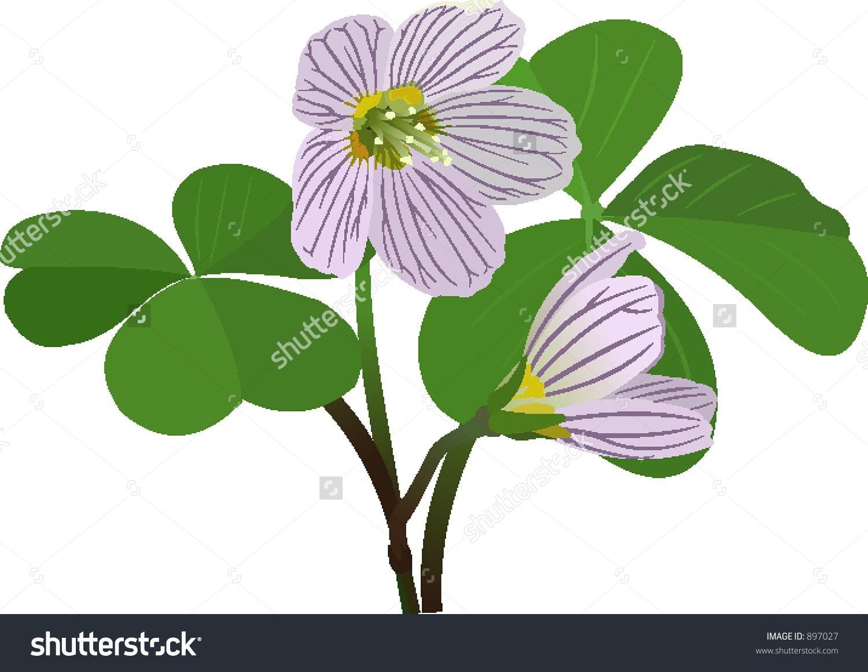 Oxalis Acetosella Stock Vector Illustration 897027 : Shutterstock.