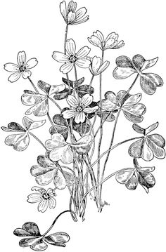 1000+ images about oxalis on Pinterest.