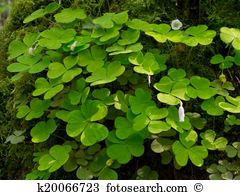 Oxalis Stock Illustrations. 14 oxalis clip art images and royalty.
