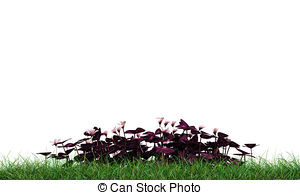 Oxalis Illustrations and Clipart. 23 Oxalis royalty free.
