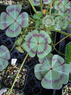 Caladium bicolor, muy ornamental por el colorido de sus hojas.