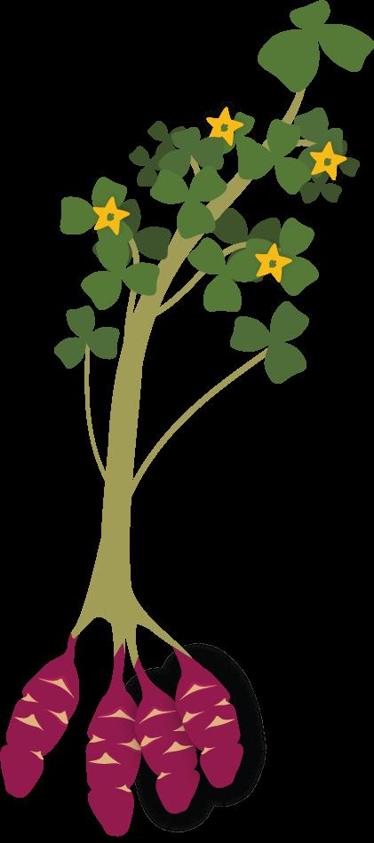 Oca (Oxalis tuberosa).