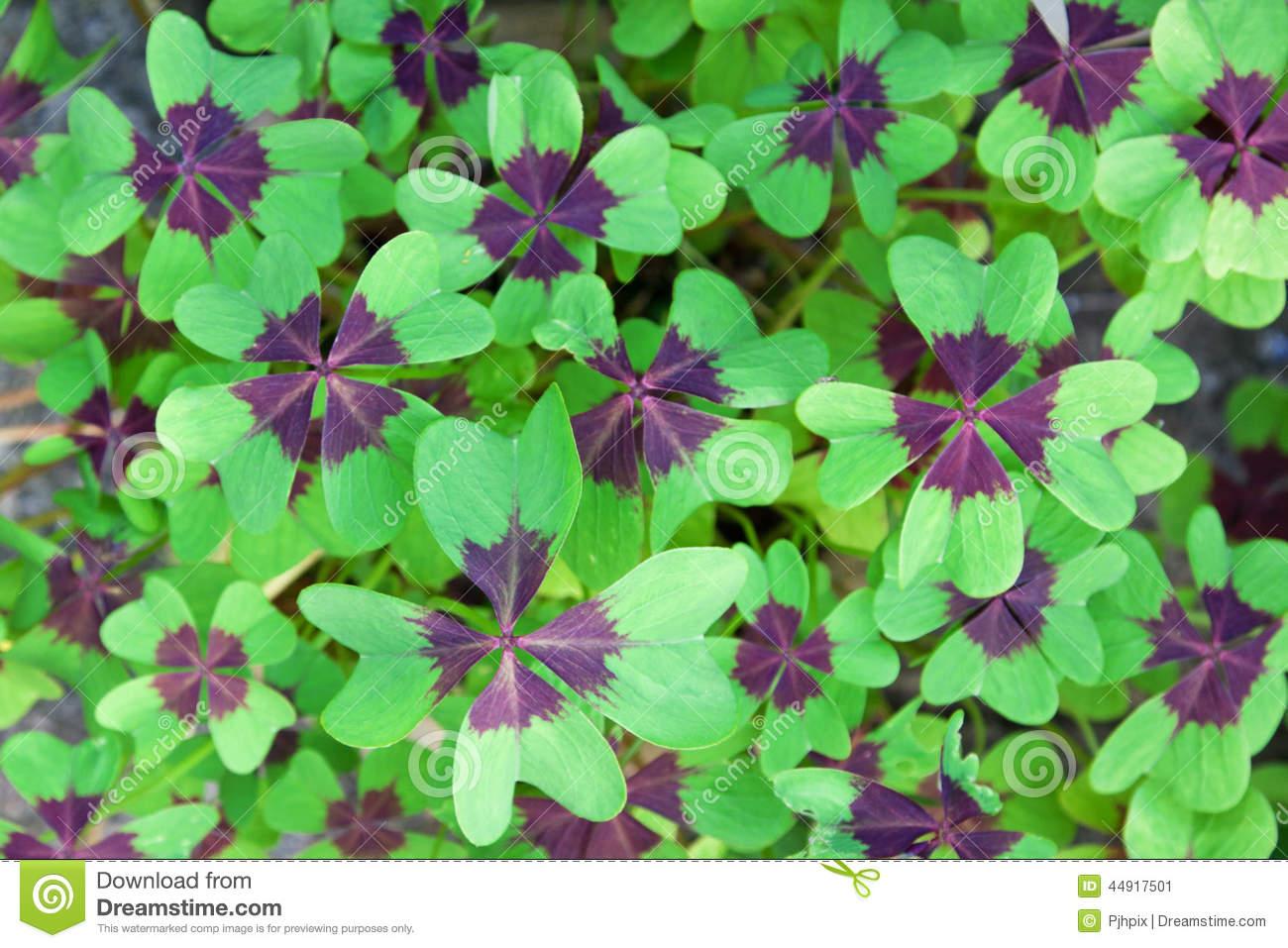 Oxalis Deppei Leaves ( Oxalis Tetraphylla ) Stock Photo.