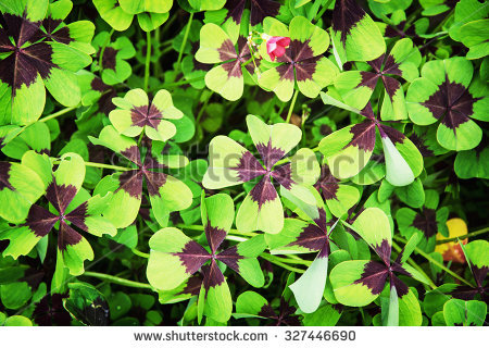 Oxalis Stock Photos, Royalty.