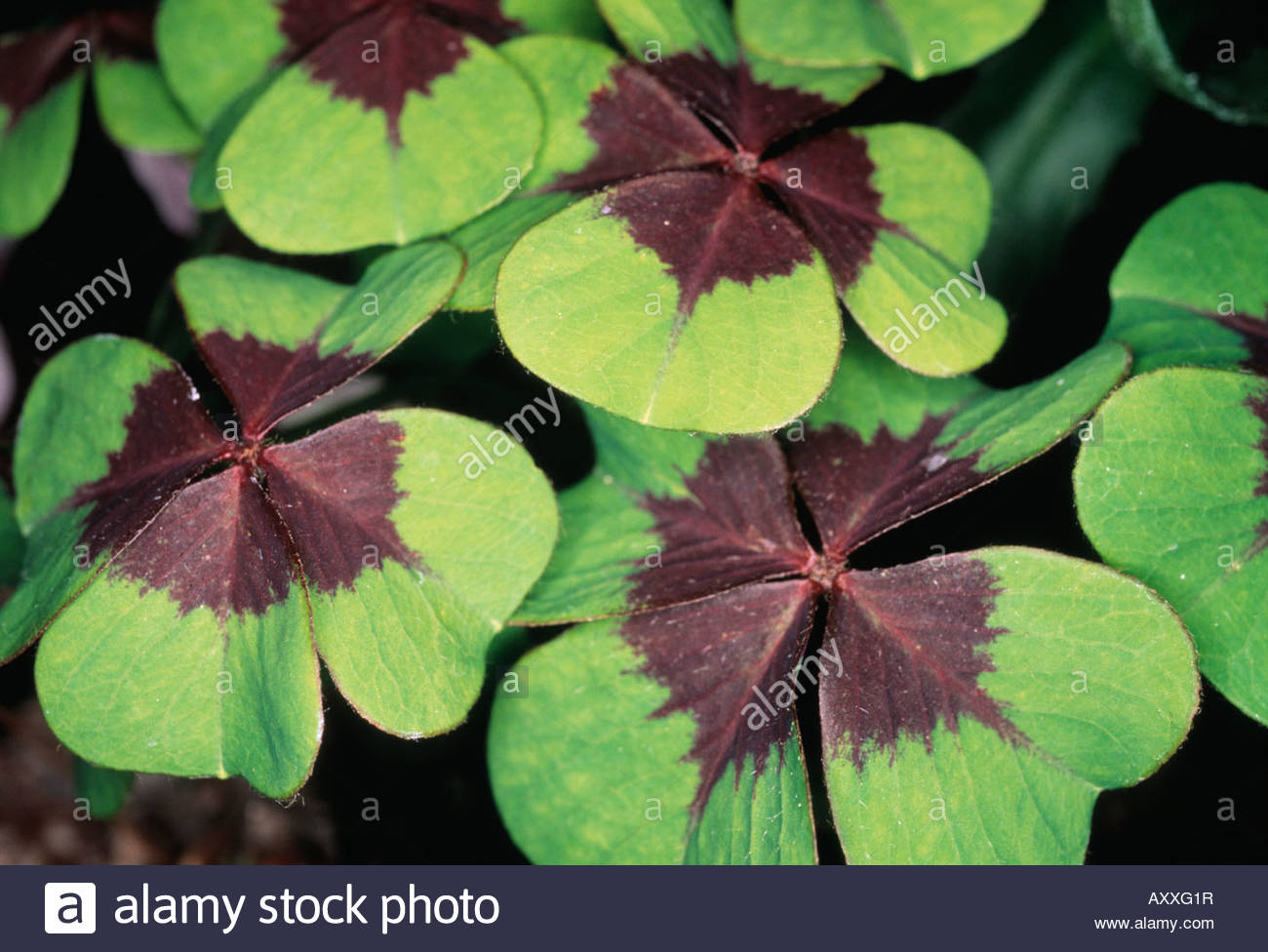 Oxalis Tetraphylla Stock Photos & Oxalis Tetraphylla Stock Images.