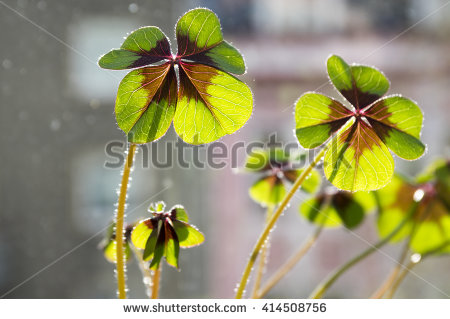 Oxalis Deppei Iron Cross Stock Photos, Royalty.