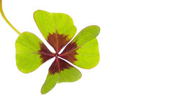 Oxalis Deppei Leaves ( Oxalis Tetraphylla ) Stock Photo.