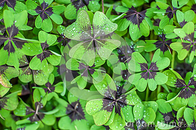 Oxalis Deppei Iron Cross.