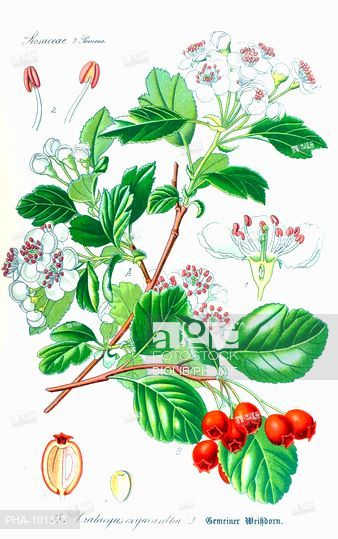 Hawthorn Crataegus oxyacantha. From Flora of Germany, Austria and.