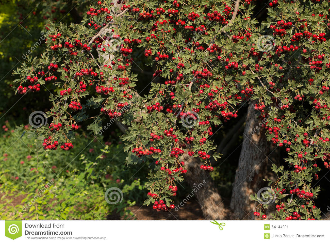 Hawthorn Tree (Crataegus Oxyacantha) Stock Photo.