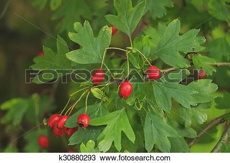 Stock Photo of hawthorn crataegus oxyacantha k30880293.
