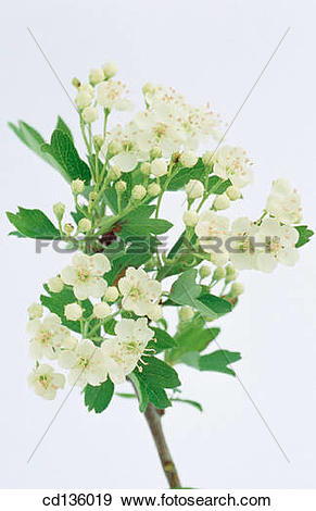 Stock Photograph of Hawthorn flowers (Crataegus oxyacantha.