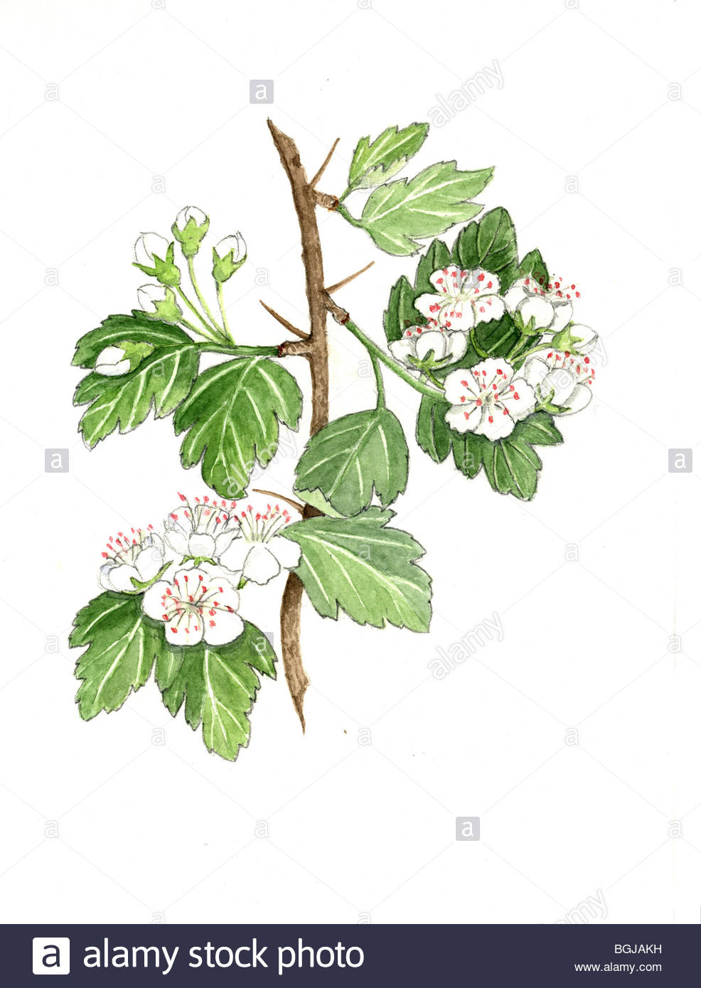 Whitethorn With 2 Blossoms.
