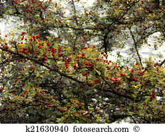 Hawthorn infusion crataegus monogyna or oxyacantha Images and.