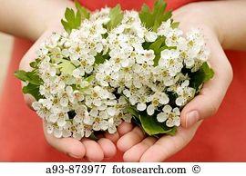 Hawthorn leaf Images and Stock Photos. 1,570 hawthorn leaf.