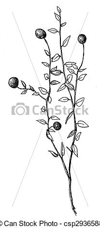 Stock Illustration of Cranberry.