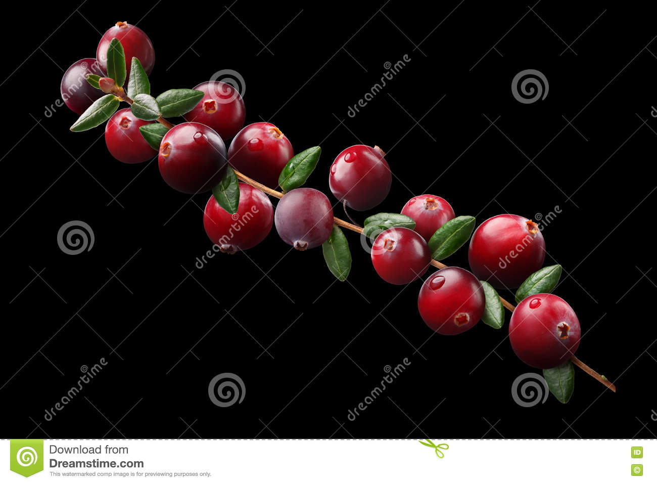 Cranberry Branch Composition, Clipping Paths Stock Photo.