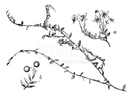 Antique Illustration of Vaccinium Oxycoccos OR Oxycoccus Palustr.