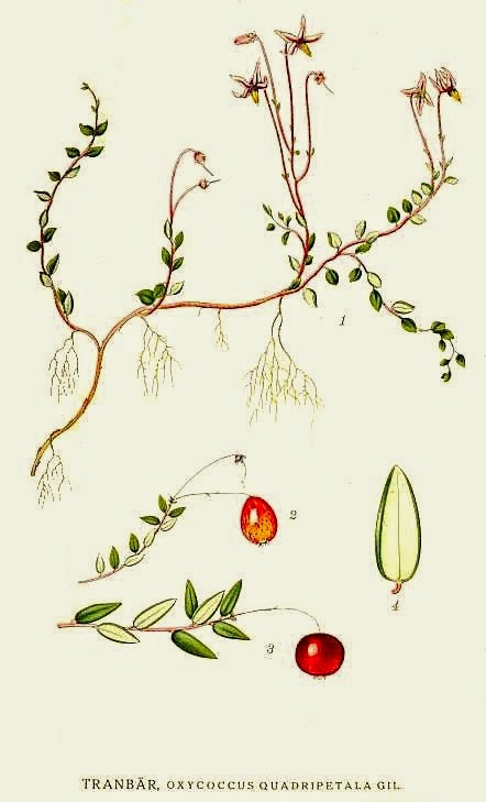 Botanical Accuracy: Red berry, blue berry cranberry, lingonberry?.