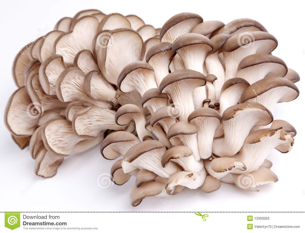 Oyster Mushrooms Stock Photos.