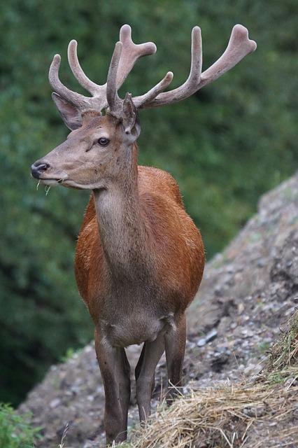 Free photo Animal Red Deer Food Graze Forest Antler Hirsch.