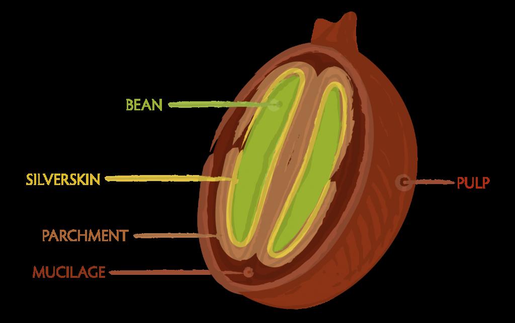 El Salvador Pacamara, Black Honey Microlot.