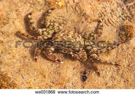 Pictures of Runner Crab (Pachygrapsus marmoratus) we031868.