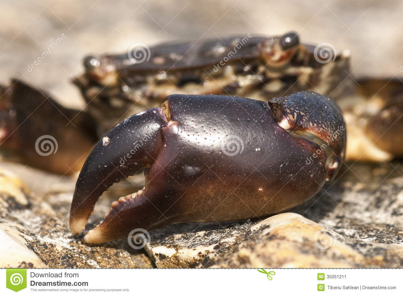 Crab Claw Stock Image.