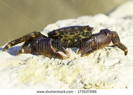 Marbled Crab Portrait Closeup Pachygrapsus Marmoratus Stock Photo.