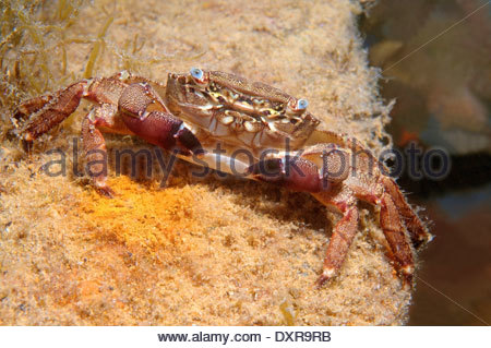 Crustacea Decapoda Stock Photos & Crustacea Decapoda Stock Images.