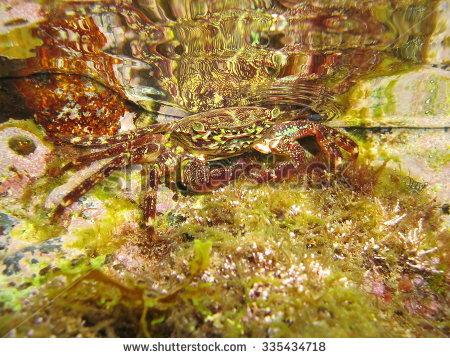 Marbled Crab Stock Photos, Royalty.